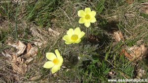 Anemoni delle Alpi