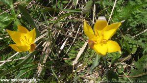 Tulipano alpino