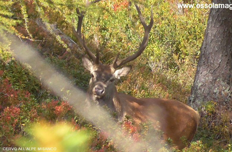 cervo-alpe-misanco-2