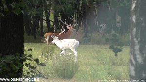 Cervo e cervo albino