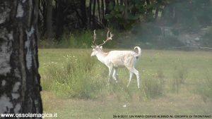 Un raro cervo albino