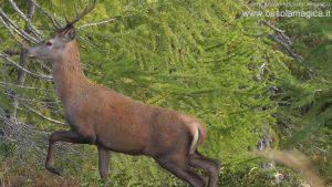 Cervo in alpe Misanco