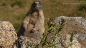 Marmotta in alpe Bettelmat