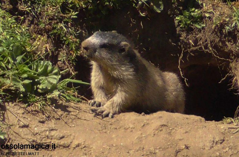 Marmotta in alpe Bettelmat