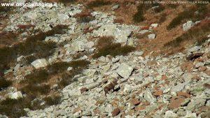 Stambecco in alpe Devero