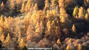 Larici in Val Loana