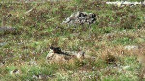 Marmotte a Morasco