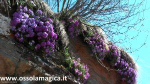 Primula alpina