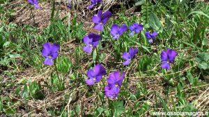 Viola alpina