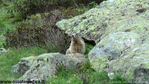 Marmotta al Vannino