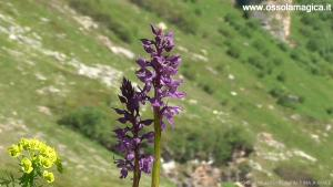 Orchidee alpine