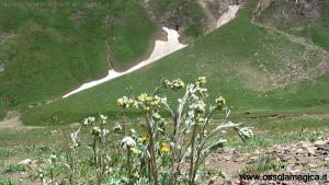 Genepy (Artemisia glacialis)