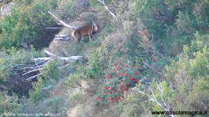 Cervo in alpe Furculti
