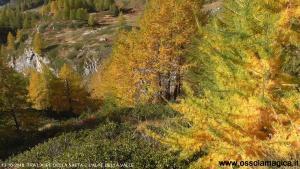 Larici in Alpe Devero