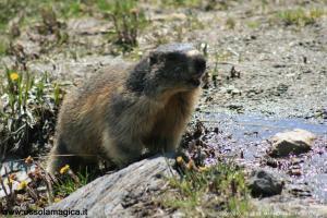 Marmotta al lago Toggia