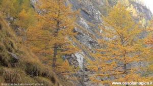 Larici in alpe Veglia
