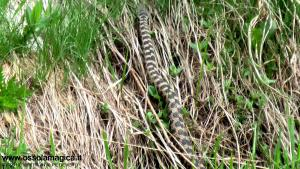 Vipera aspis in Devero